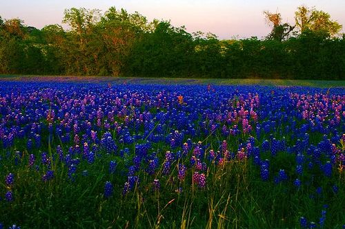 Blue bonnets near Austin, Texas, a place where the healing began.